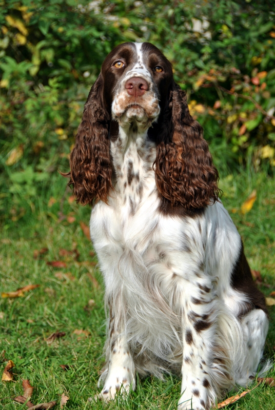 English Springer Spaniel in Vollaufnahme