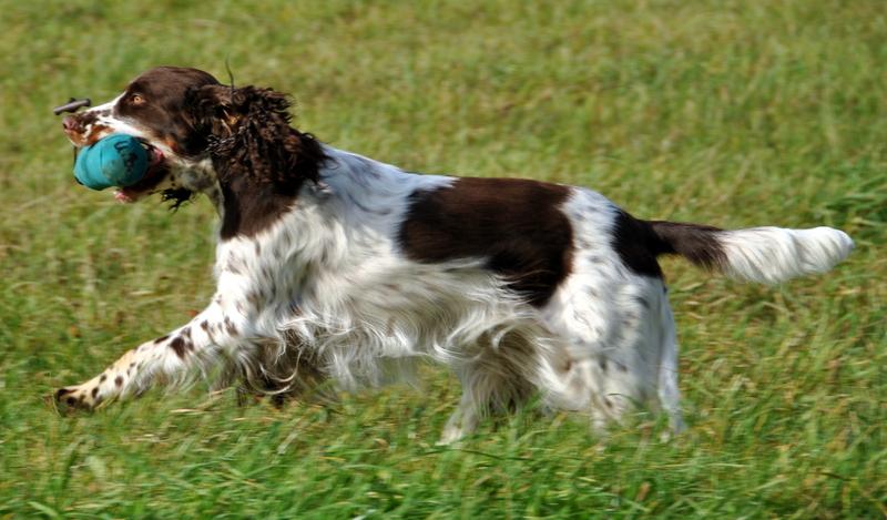 English Springer Spaniel mit Dummy beim Laufen auf der Wiese