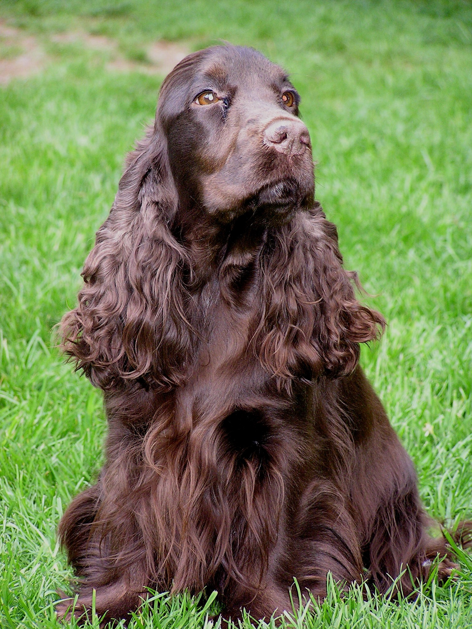 English Cocker Spaniel auf dem Rasen