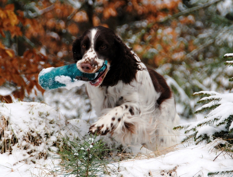 English Springer Spaniel Lotta holt Dummy aus Schnee
