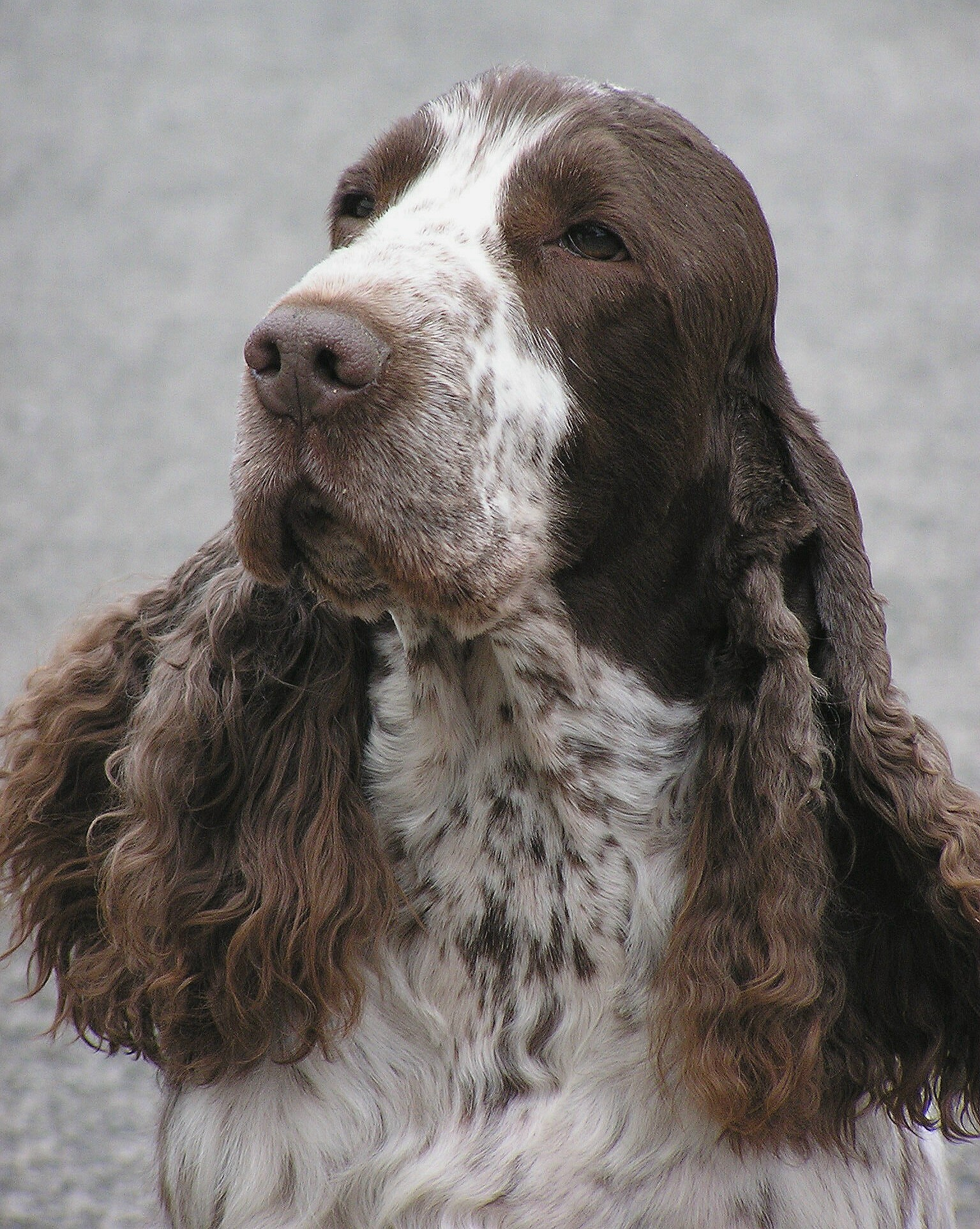 English Cocker Spaniel schaut in die Kamera