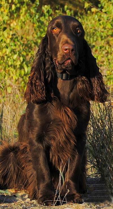 Field Spaniel Vicky 2013-10-03
