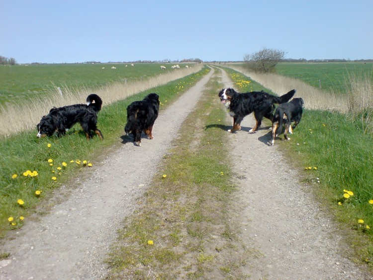 Rudel Hunde bei den Schafen - gut dass es Antijagdtraining gibt