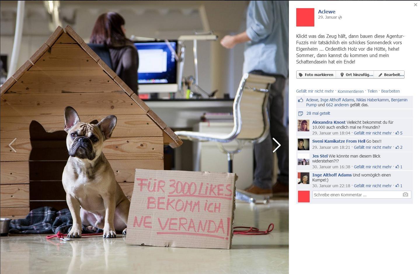 französische Bulldogge Bex bittet um Facebook Likes