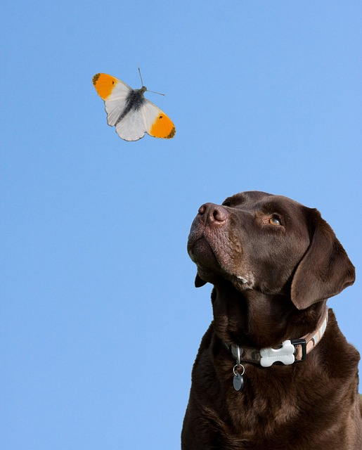Dog, Butterfly, Blue Sky, Labrador