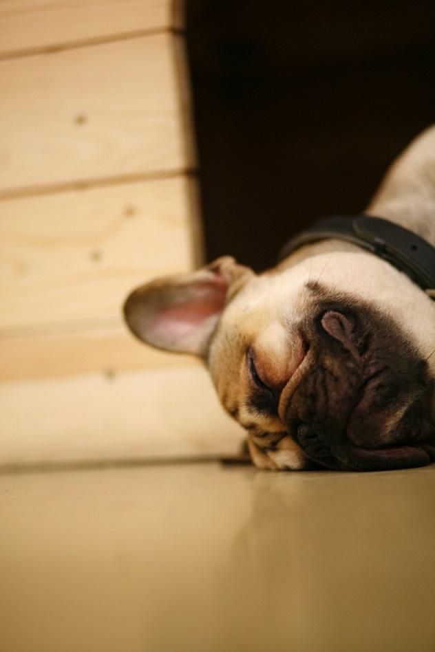 französische Bulldogge Bex sleeping