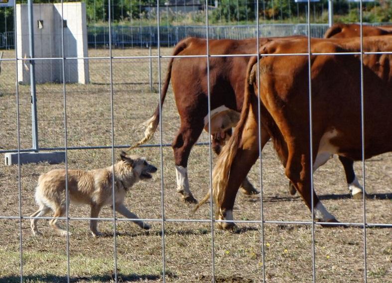 Rindertreiben mit Hund