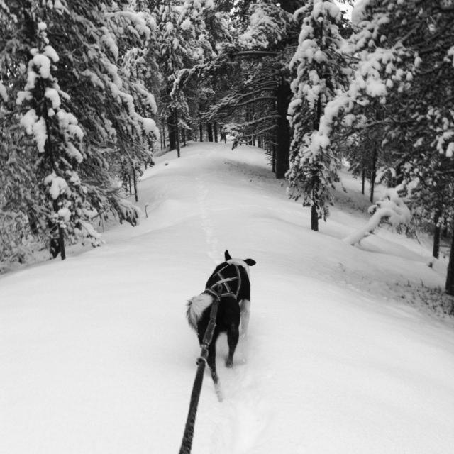 Husky zwischen schneebedeckten Bäumen