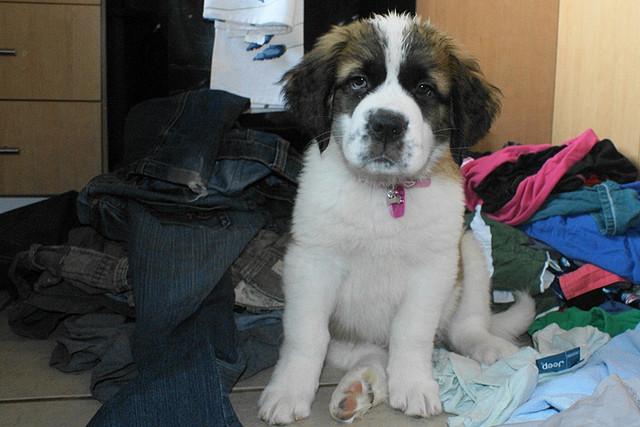 Hund auf Klamotten-Berg