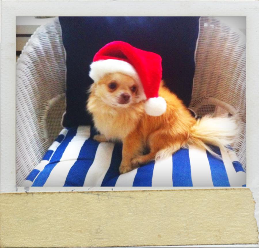 Chihuahua Rüde Sammy verkleidet sich