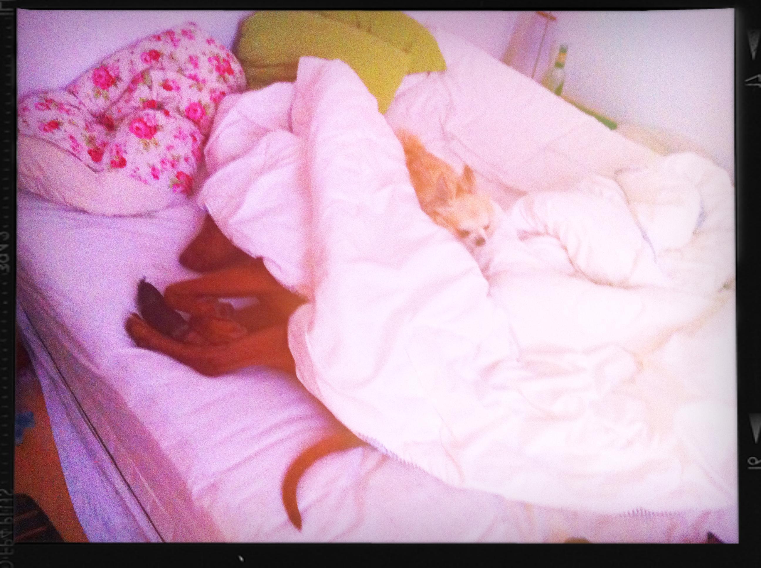 Viszla Hündin Stella unter der Bettdecke