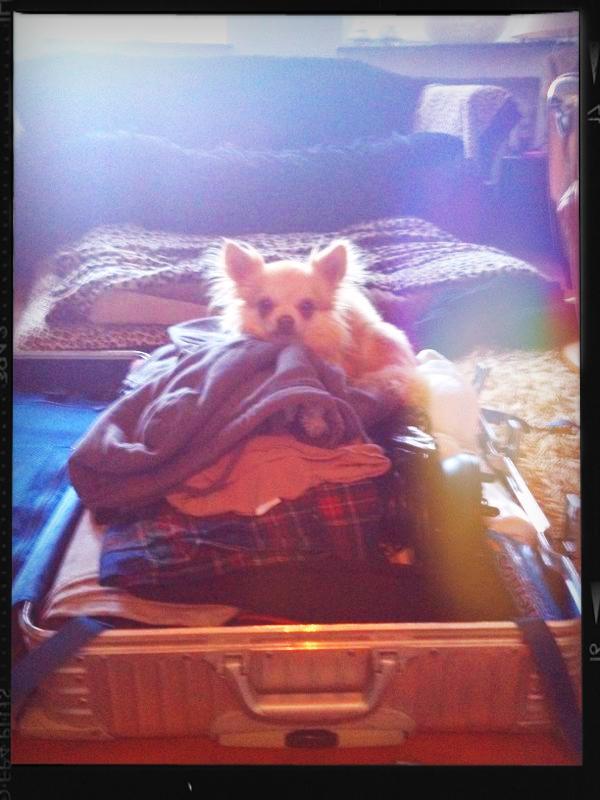 Chihuahua Rüde Sammy im Koffer