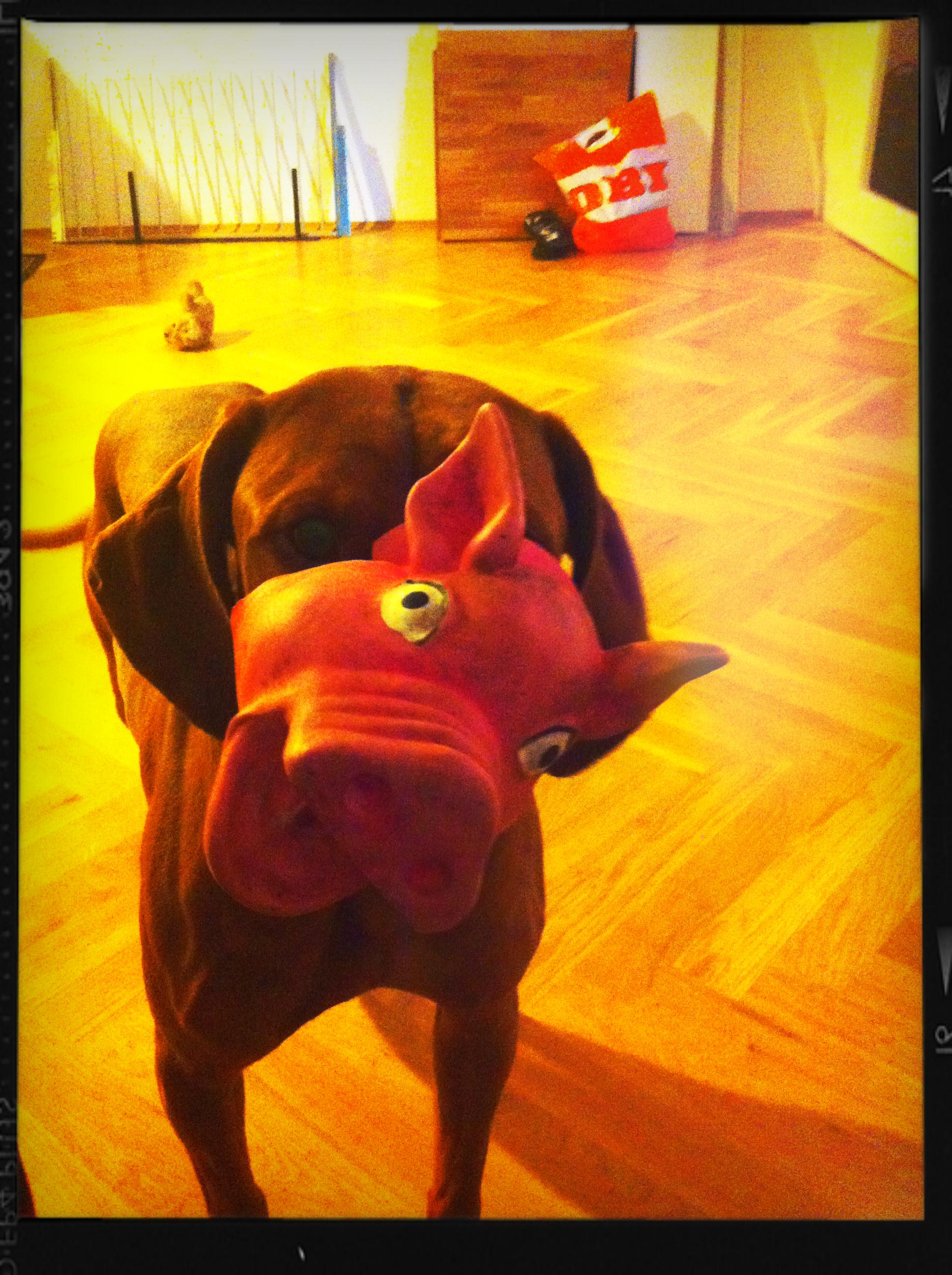 Viszla Hündin Stella trägt ein Schwein vor sich her