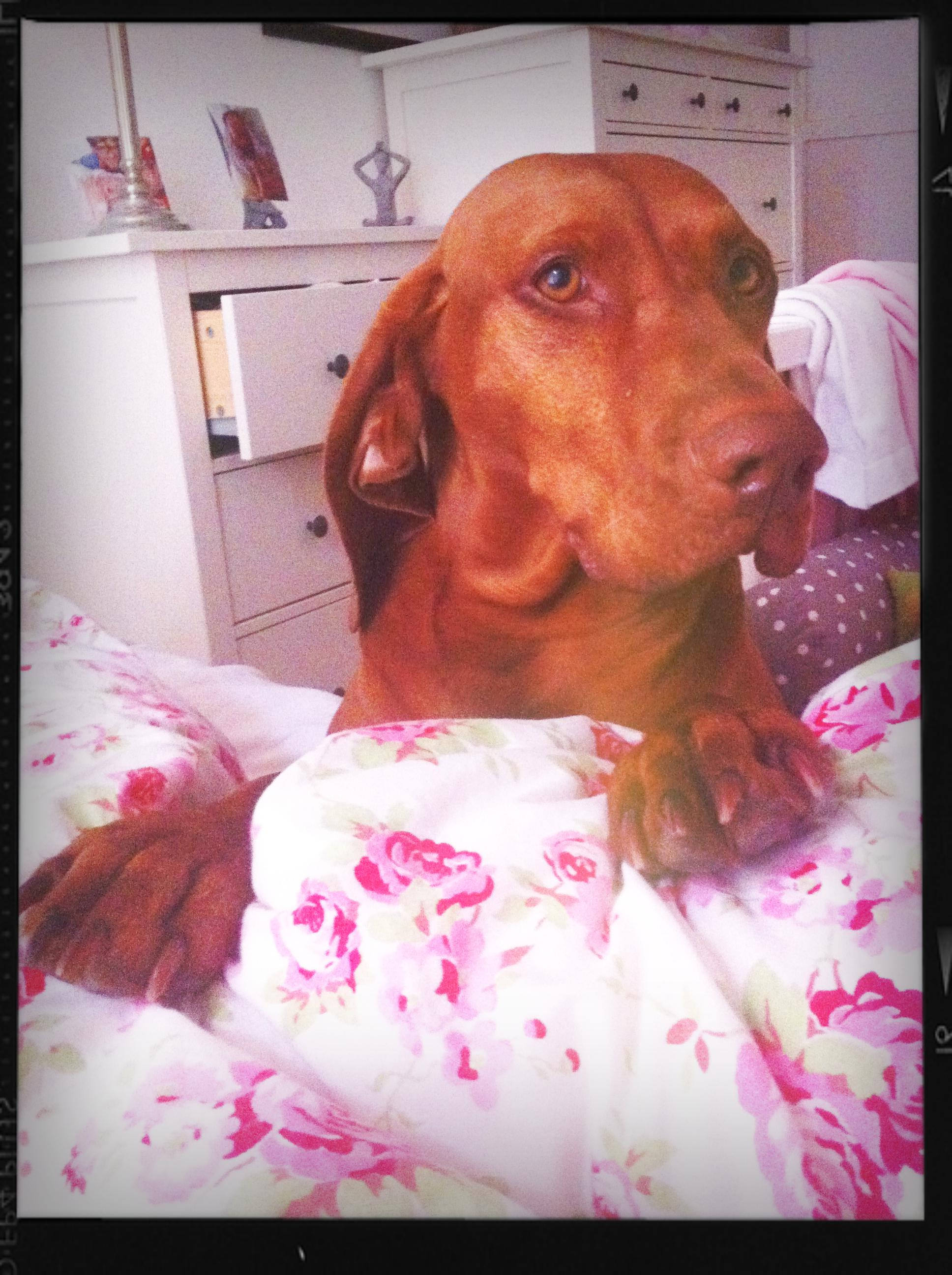 Viszla Hündin Stella faul auf dem Bett
