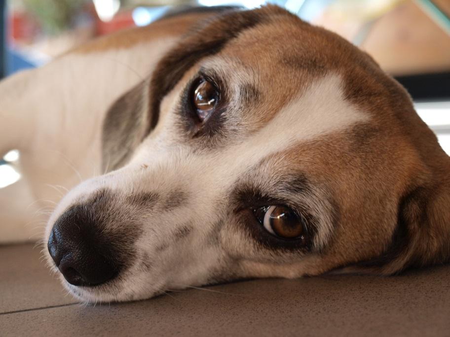 Hund Peppi