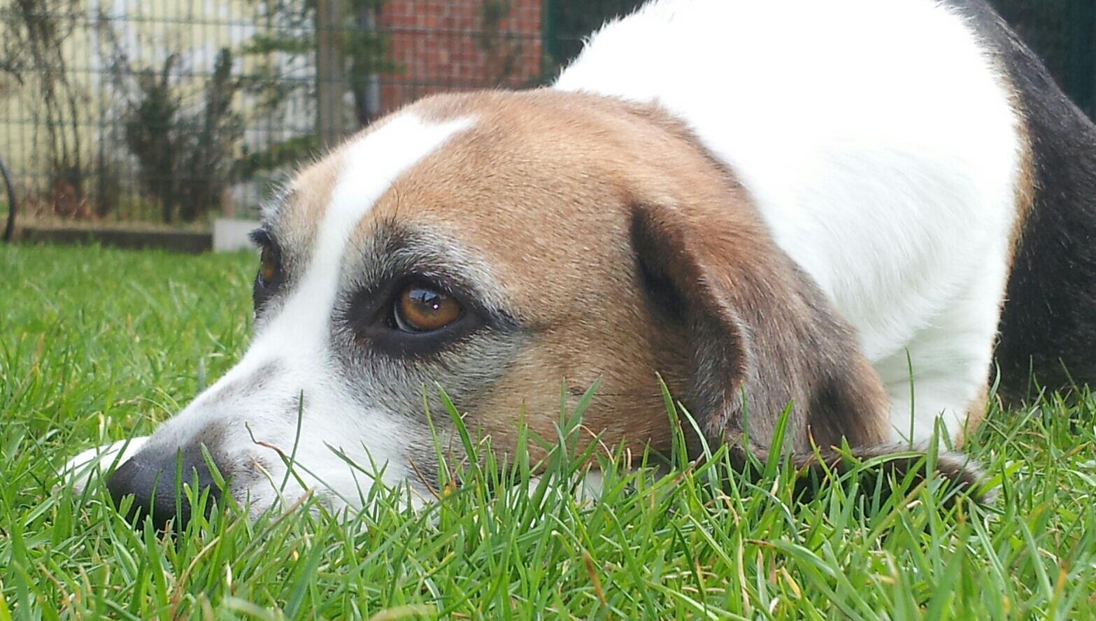 Beagle Peppi im Garten