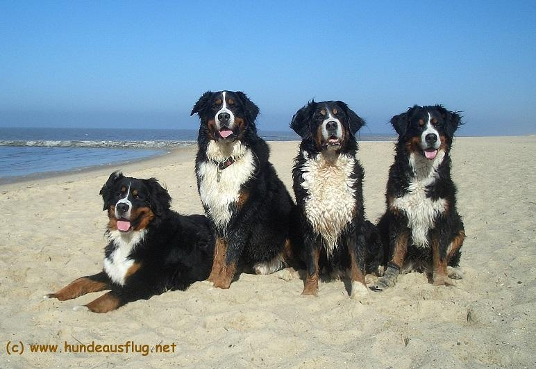 Berner Sennenhunde am Nordseestrand