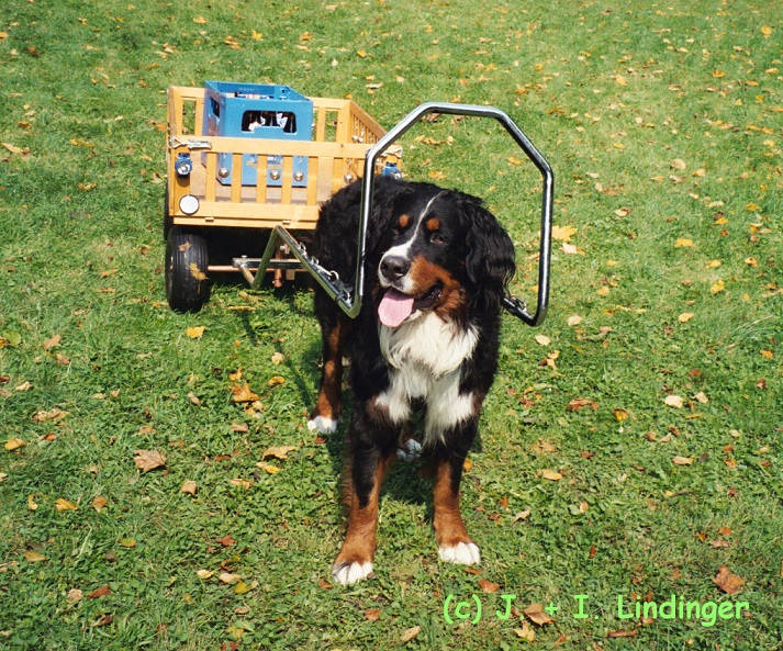 Berner Sennenhund Costello zum grünen Garten