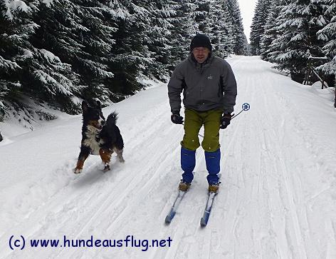 Berner Sennenhund Gusti beim Langlauf