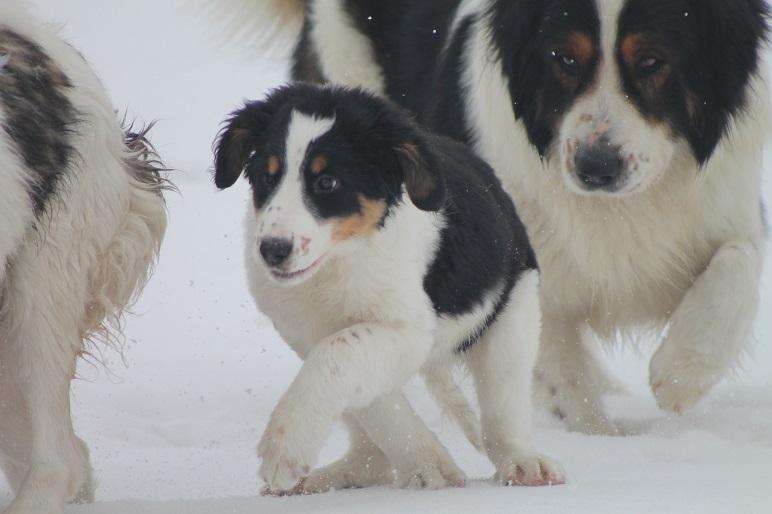 Tornjak Mädchen Amaltheia & Papabär Riko im Schnee