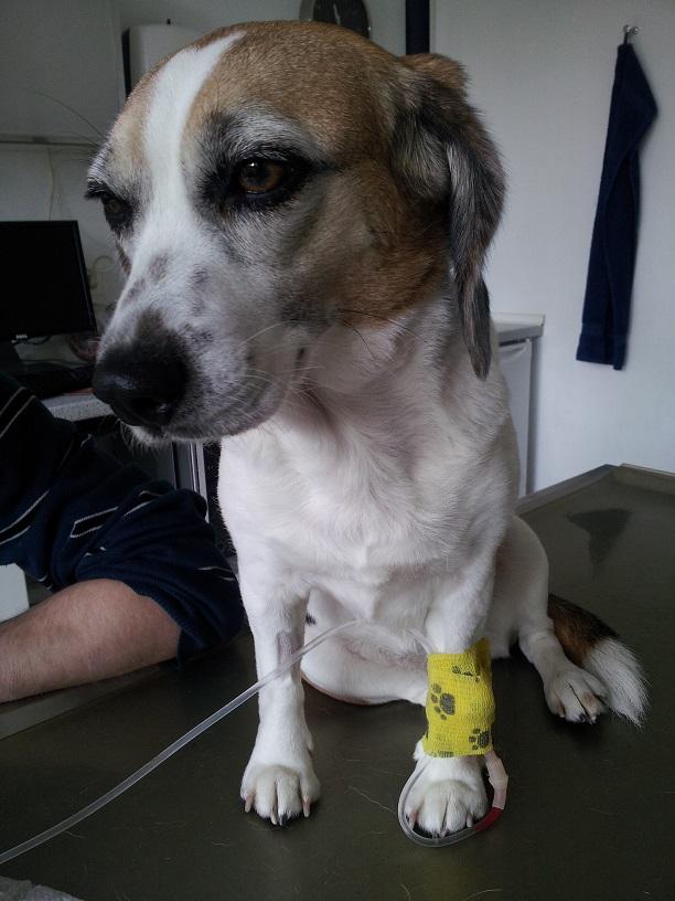 Beagle Peppi beim Arzt