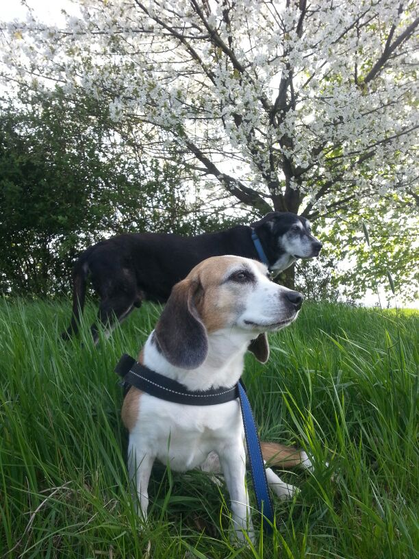 Beagle Peppi und Odin