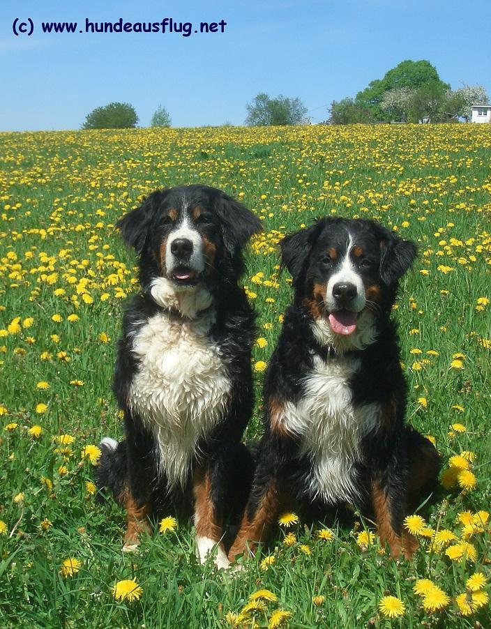 Berner Sennenhunde Senta und Augusta von Wiesmadern auf der Blumenwiese