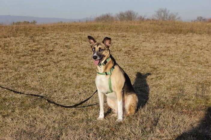 12.01.2014, Telmo mit Schleppleine, inzwischen liebt er lange Spaziergänge