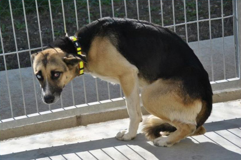 Telmo Spanien: wurde von den Tierschützern in der Hundepension in Saragossa aufgenommen