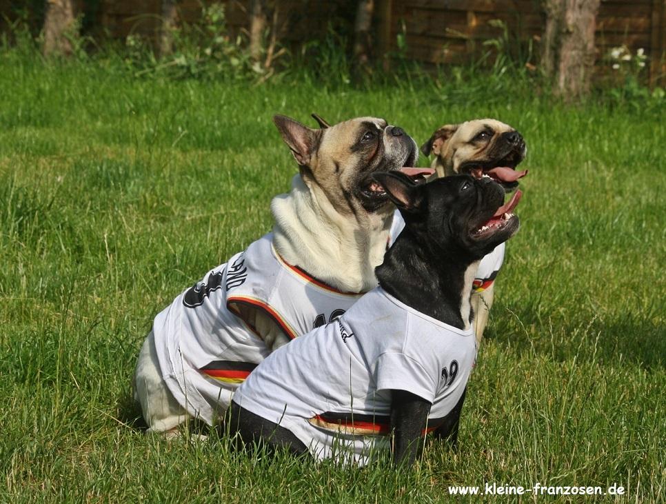 französische Bulldoggen in Nationalmannschaftstrikots
