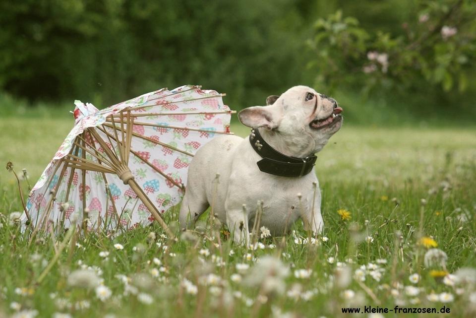 französische Bulldogge klassisch mit Sonnenschirm