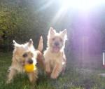 2 cairn terrier beim spielen mit dem ball