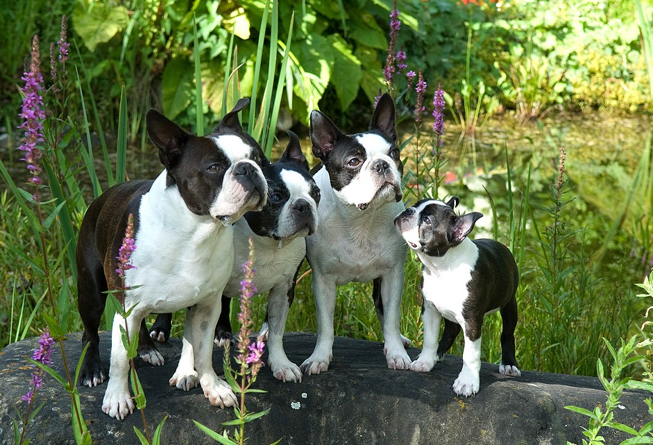 Boston Terrier Familie