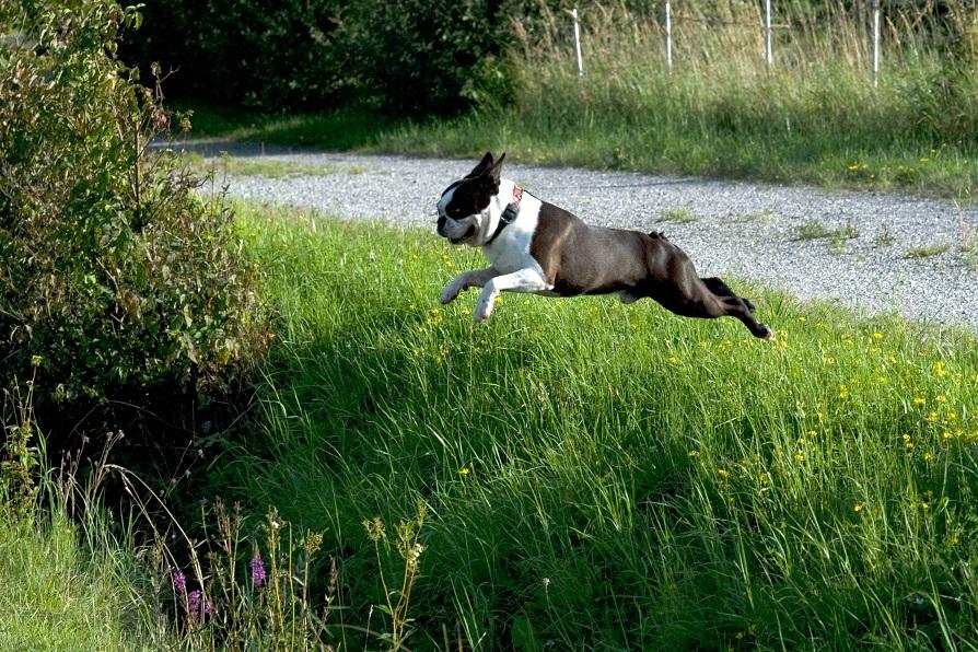 der fliegende Terrier