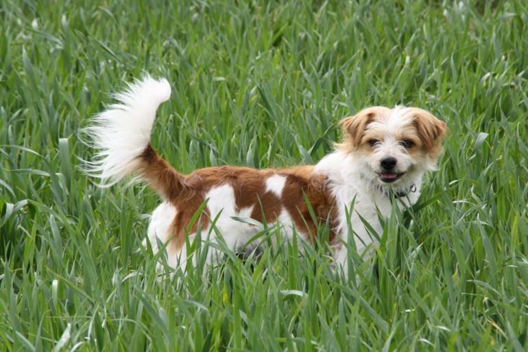 Der Kromfohrländer – ein Hund der immer 100% gibt