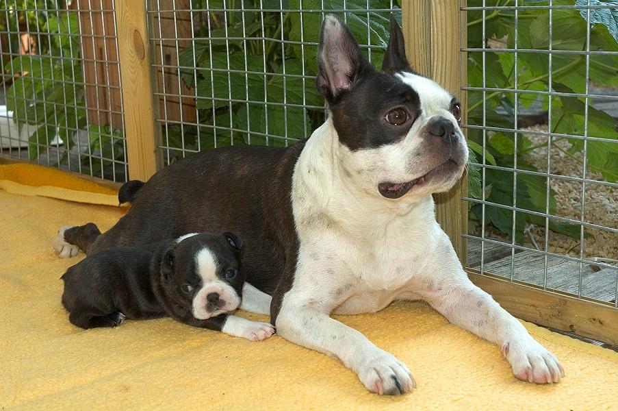 Boston Terrier vor Käfig