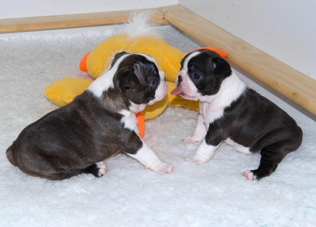 zwei Boston Terrier Welpen