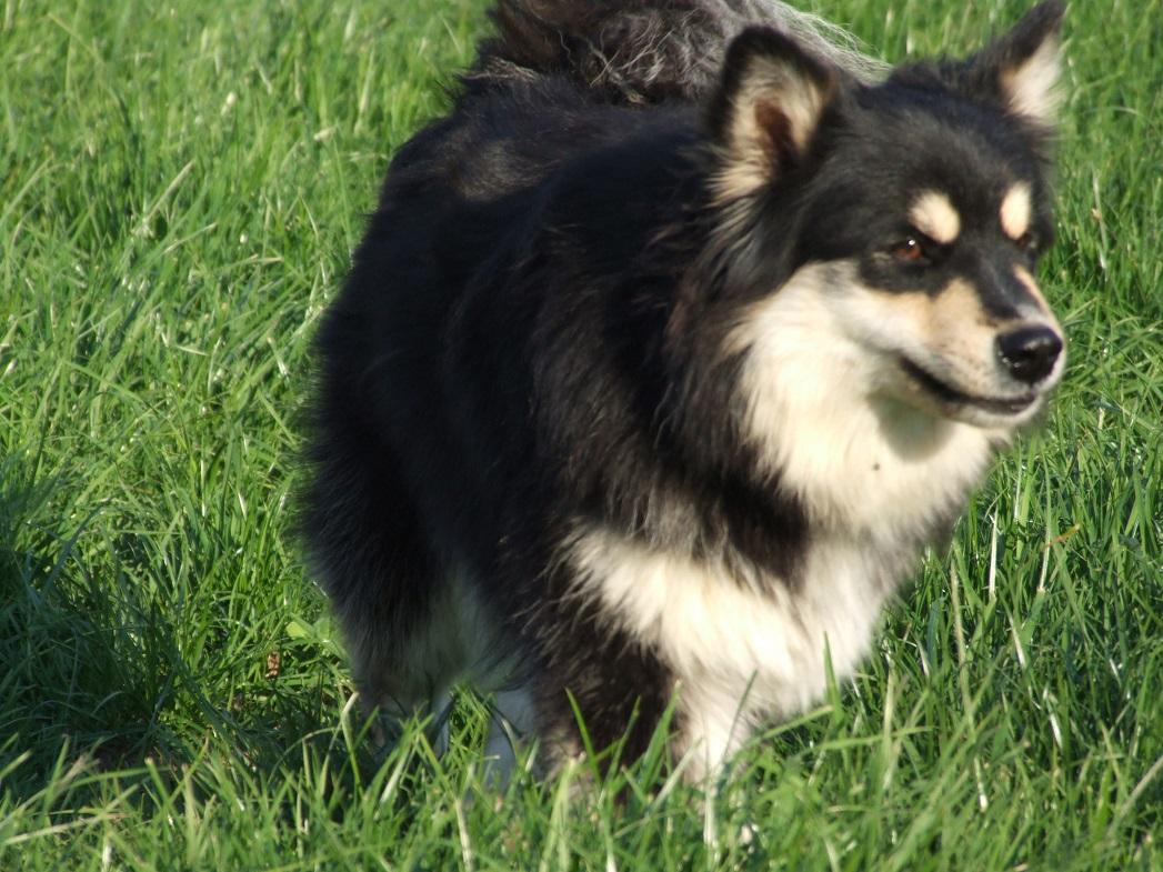 Finnischer Lapphund im Gras