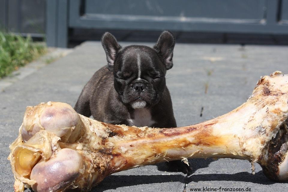 französische Bulldogge Hund Galileo mit Riesen-Knochen