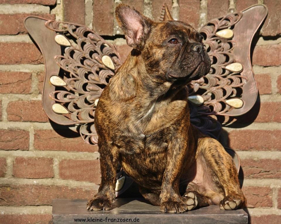 französische Bulldogge Hummel Bolle mit Flügel