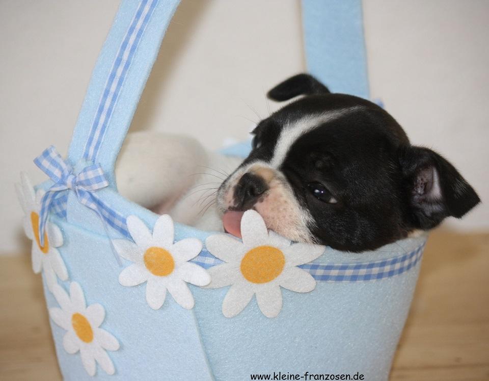 französische Bulldoggen Welpe im Körbchen