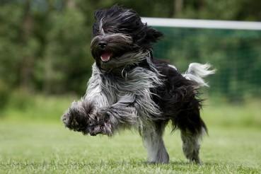 Niederländische Schapendoes – eine seltene Hunderasse
