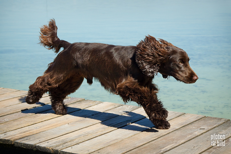 professionelles Hundefoto - Hund rennt über Steg am See