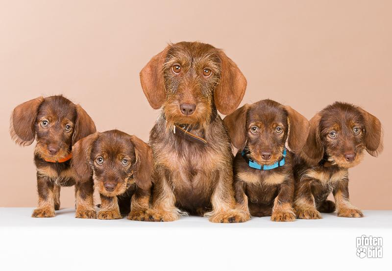 Hundefoto von Dackel Familie