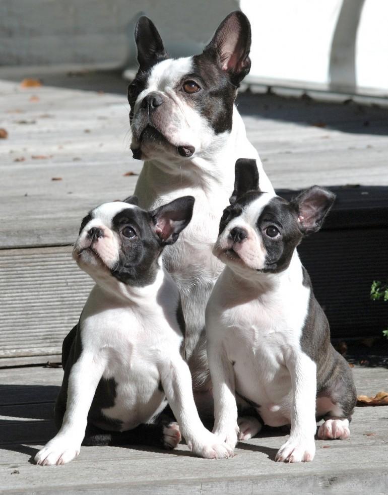 Der Boston Terrier – Amerikas Nationalhund