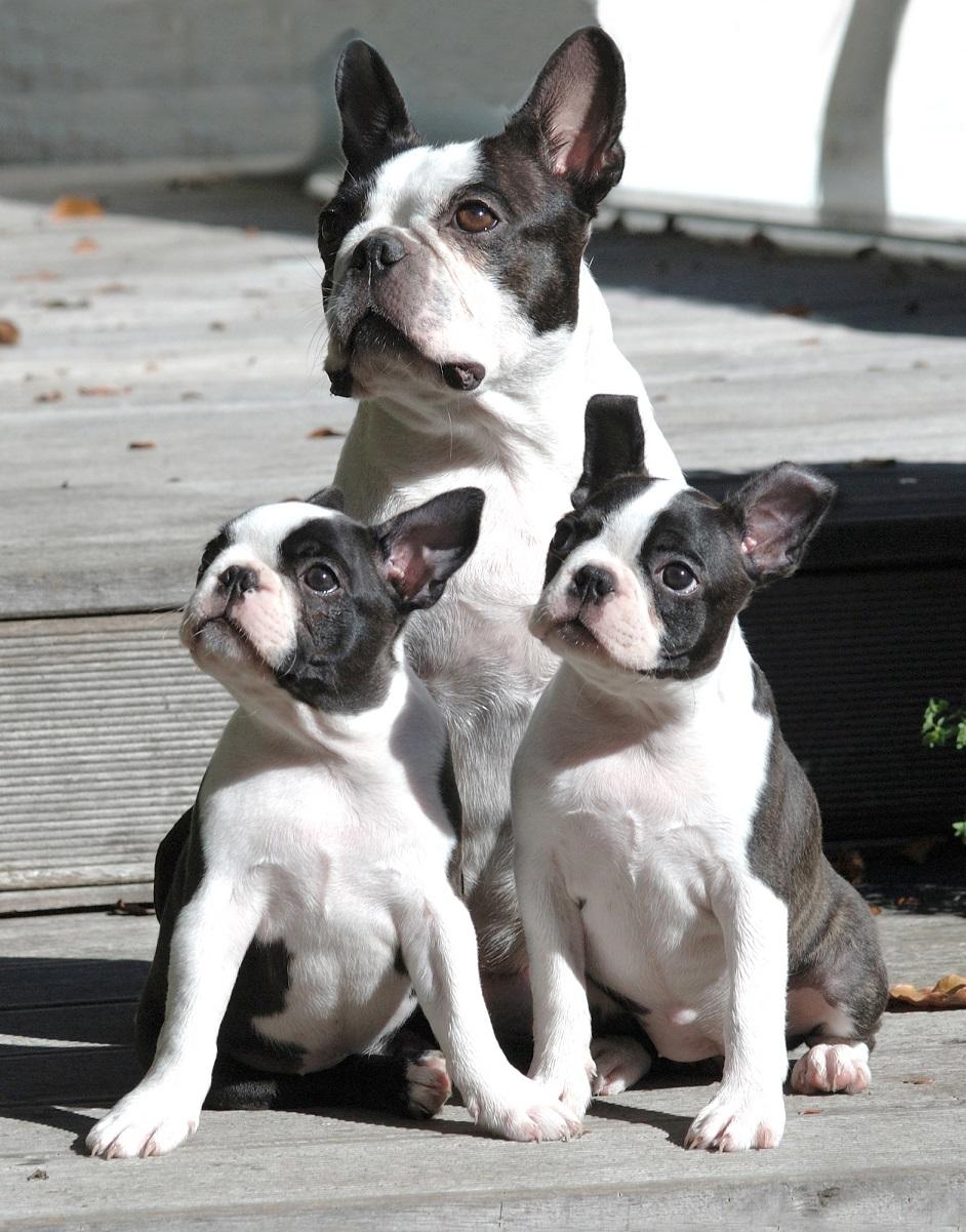 Boston Terrier und 2 Welpen