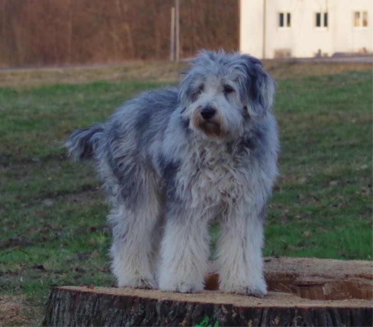 Der Bergamasker Hirtenhund (Cane da Pastore Bergamasco)