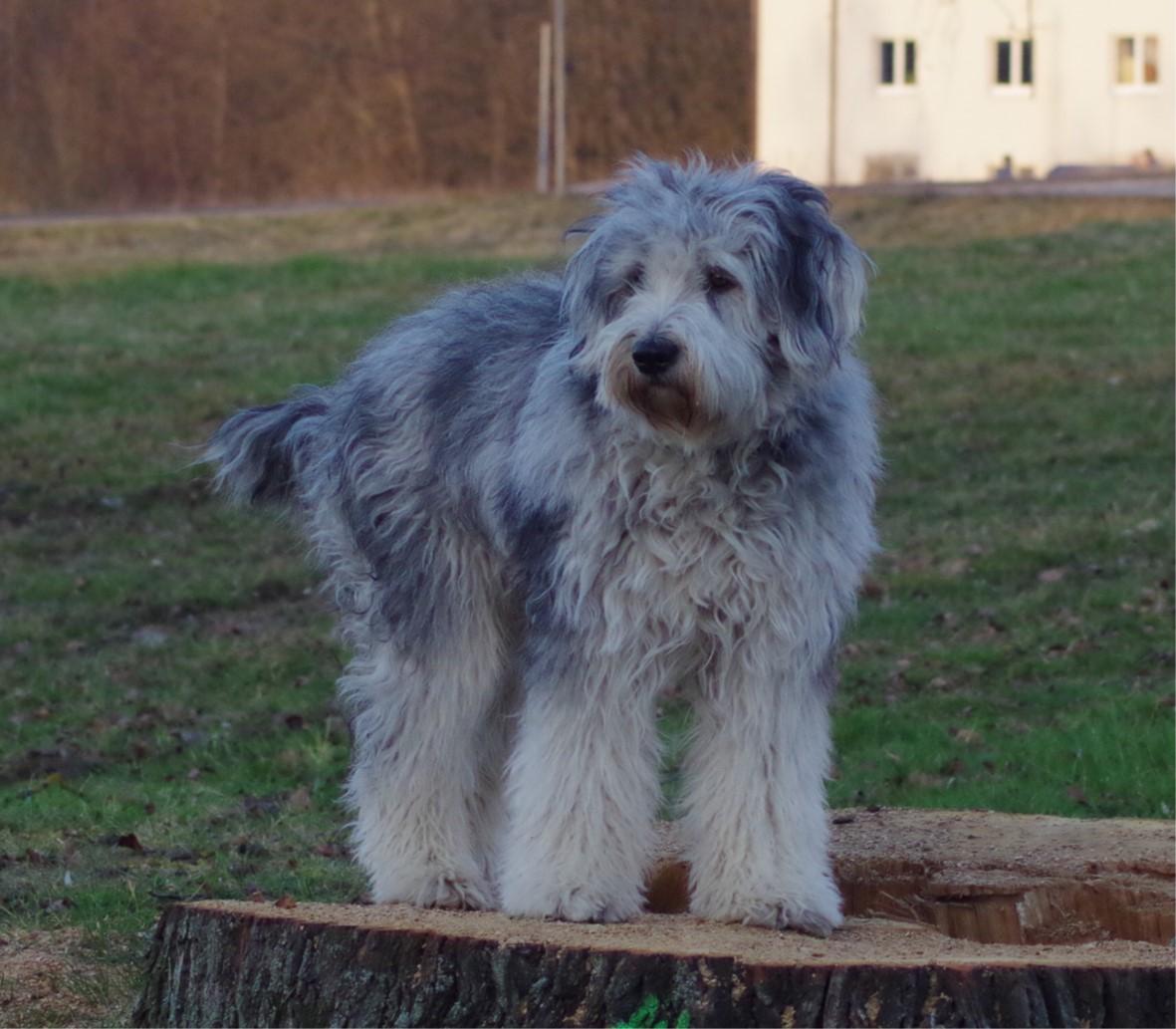 bergamasker hirtenhund auf dem baumstamm