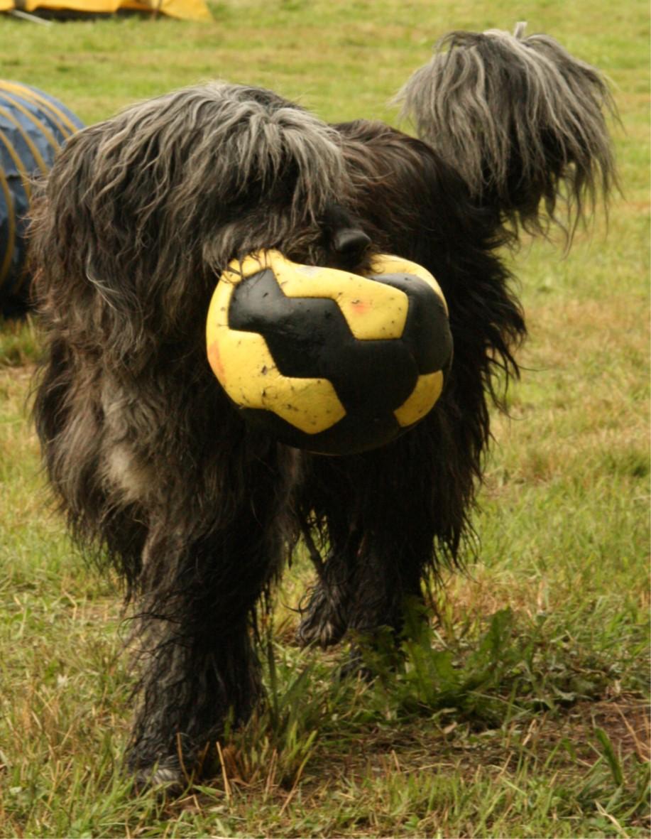 bergamasker hirtenhund mit ball in der schnauze