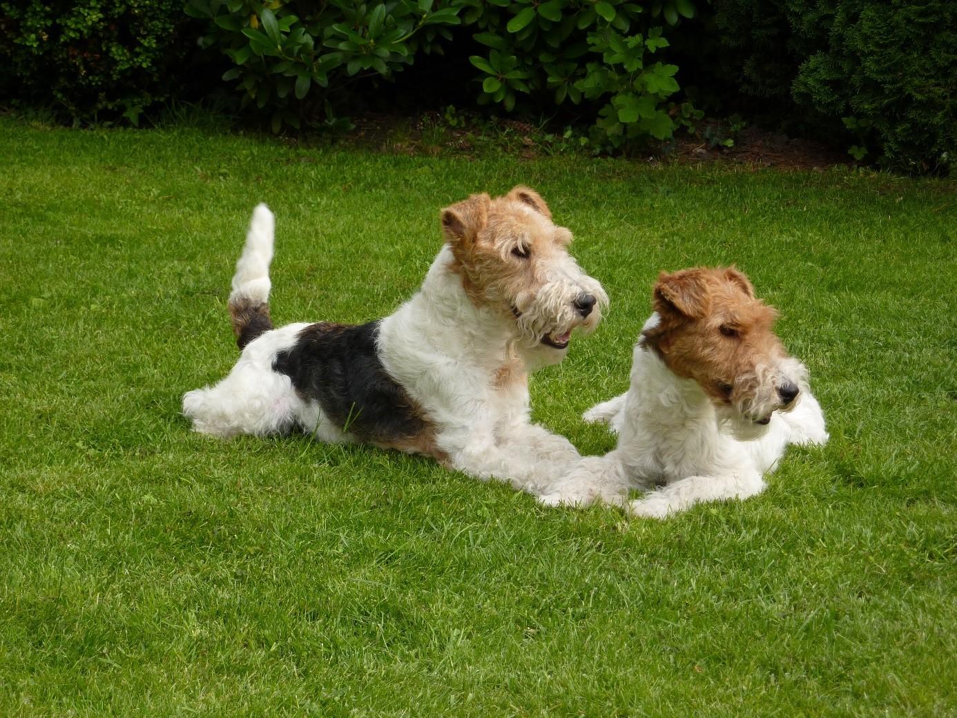 Quovadis und Yolin, meine beiden Drahthaar-Foxterrier. Fotos: B. Werdier, Everswinkel